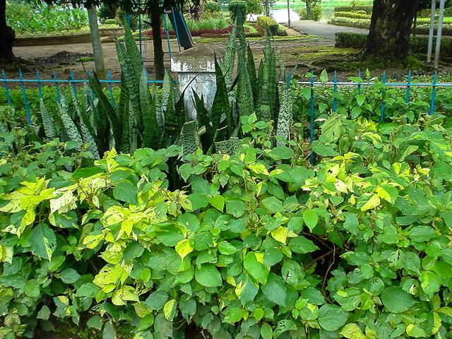 露地にサンスベリア@ミャンマーヤンゴン