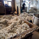煮る(練り)の前の繭玉@桐郷の真綿工場